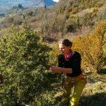 Cueillette au pied des voies – Genévrier – Juniperus communis
