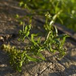 Cueillette au pied des voies: Gaillet gratteron – Galium aparine