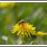 GC pissenlit-taraxacum abeille 2016