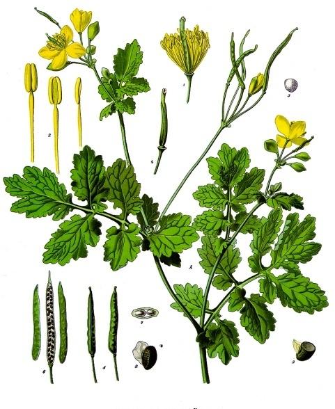 Chelidonium_majus_-_Köhler–s_Medizinal-Pflanzen-033