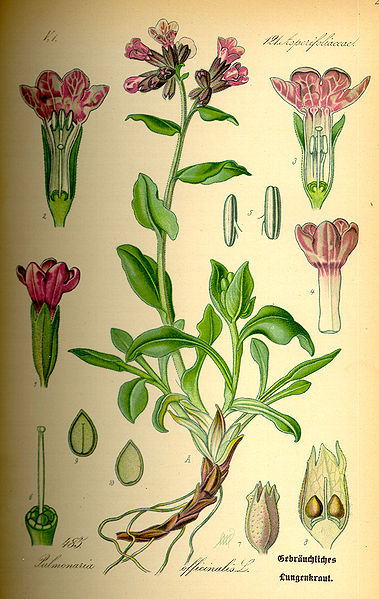 Pulmonaria officinalis planche