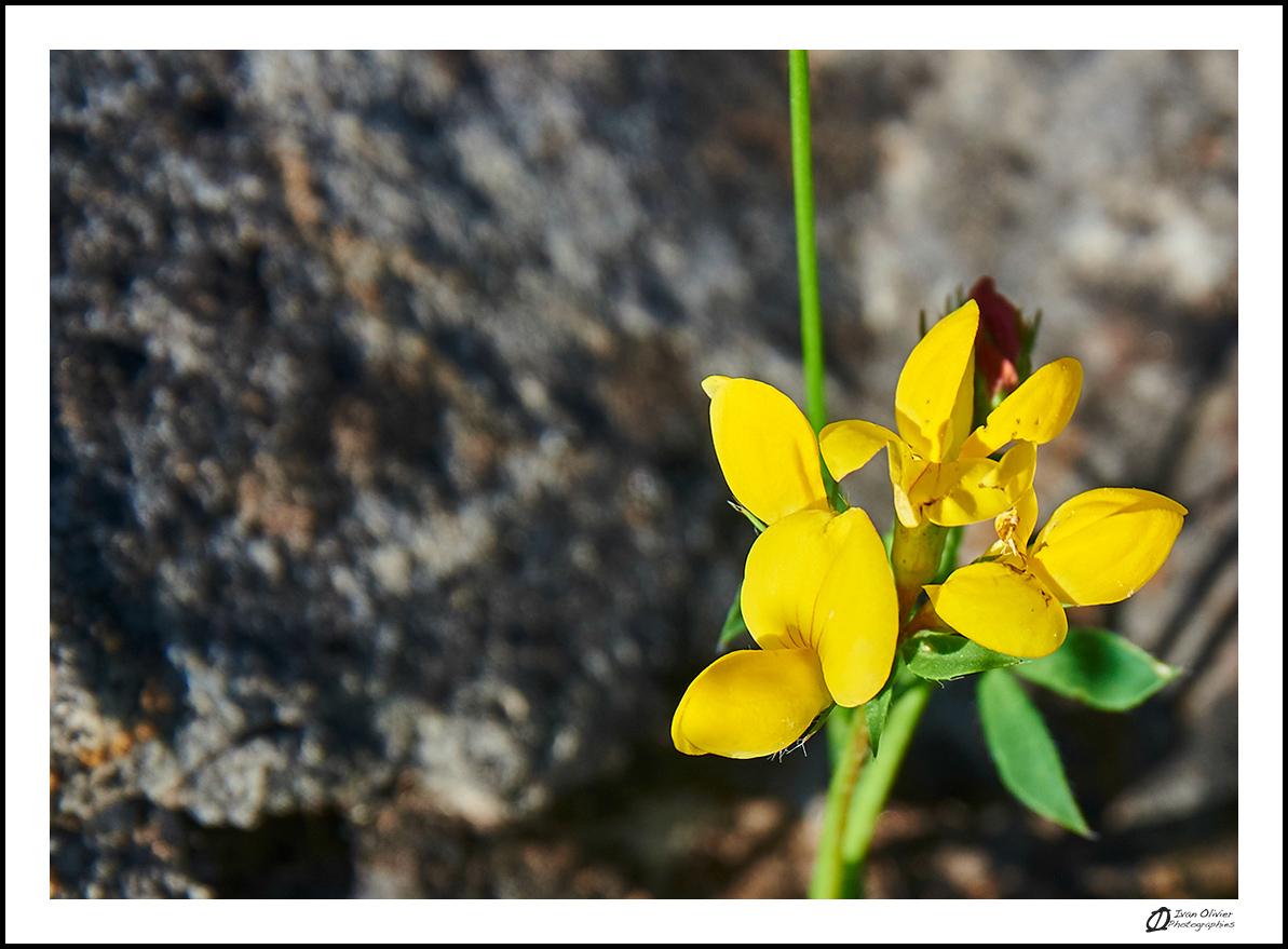 GC - escalade medicinale - cueillette - lotier corniculé lotus corniculatus - ivan olivier photographies (10)