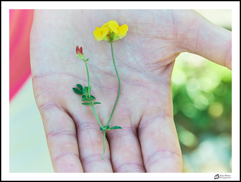 GC - escalade medicinale - cueillette - lotier corniculé lotus corniculatus - ivan olivier photographies (11)