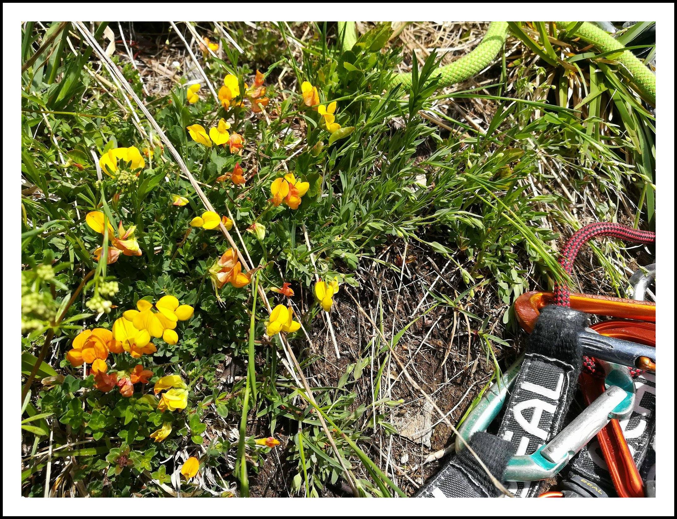 GC - escalade medicinale - cueillette - lotier corniculé lotus corniculatus - ivan olivier photographies (2)