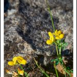 Fiche cueillette: Lotier corniculé – Lotus corniculatus