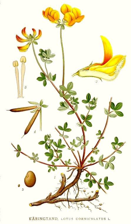 lotier cornicule - herbier planche identification lindman
