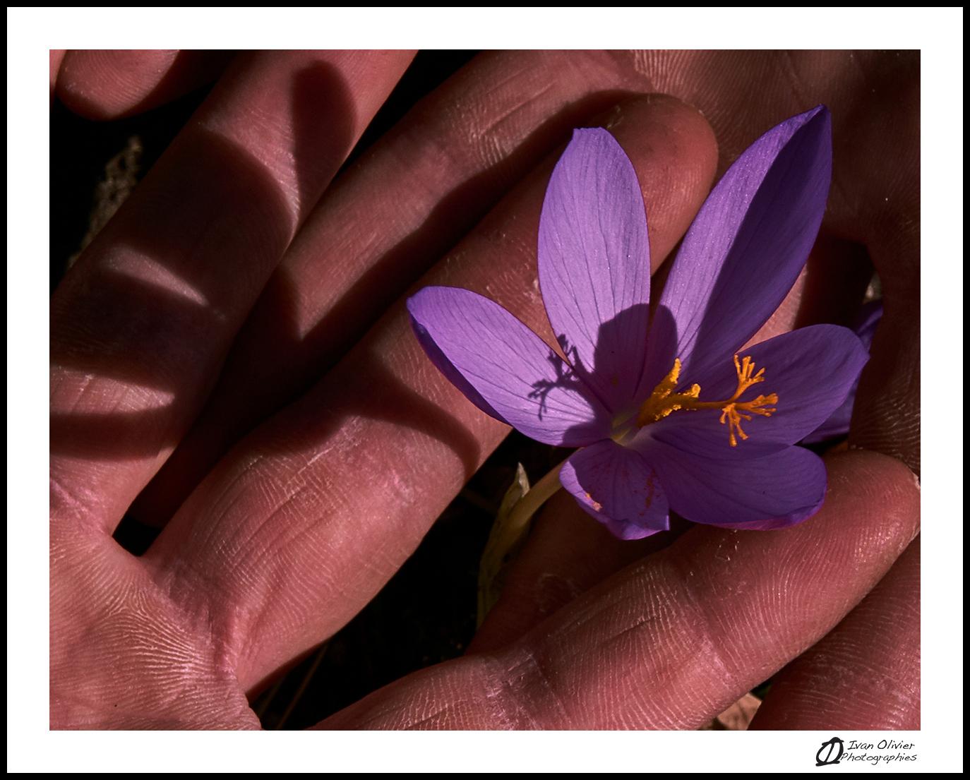 GC-cueillette au pied des voies-colchique d'automne-ivan olivier photographies (1)