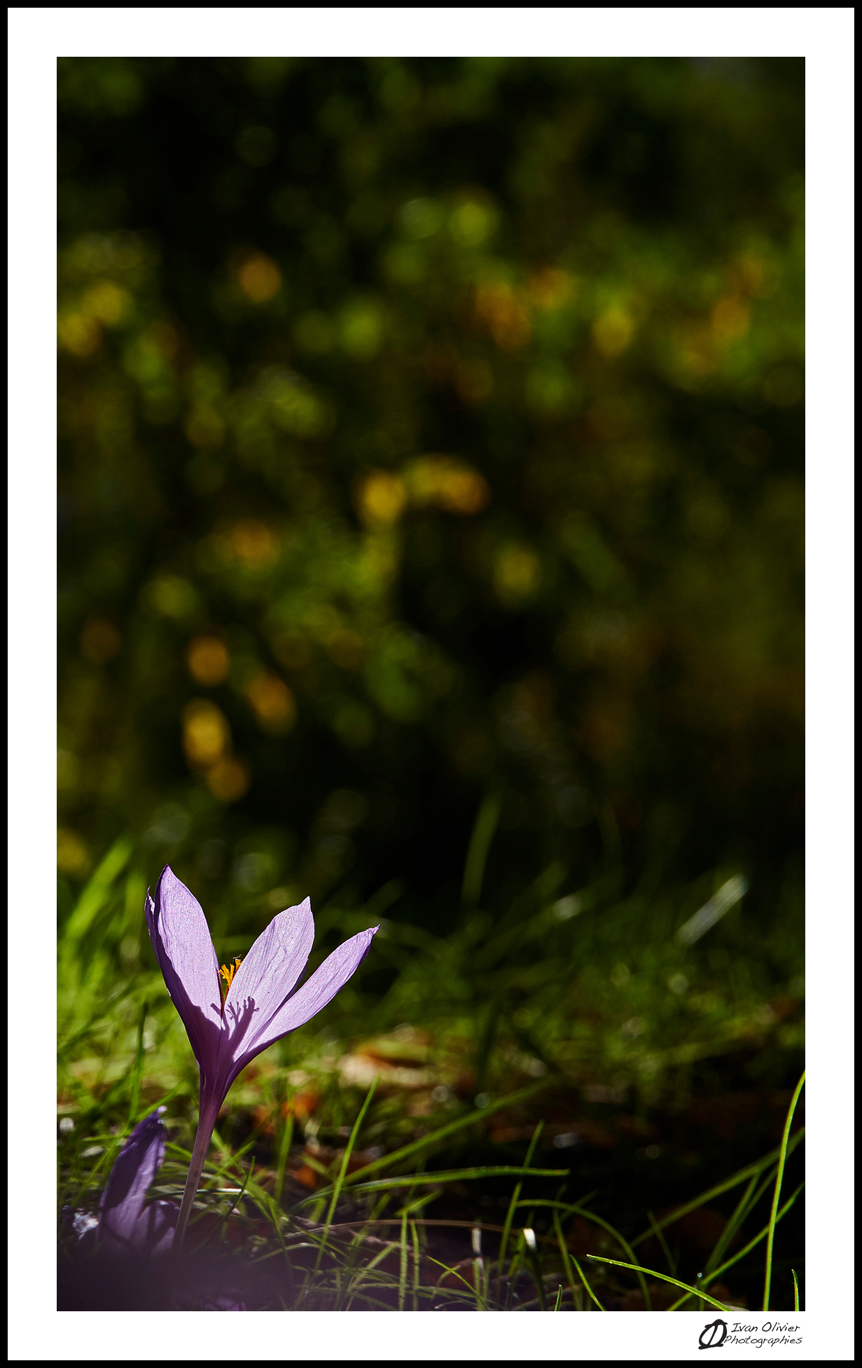 GC-cueillette au pied des voies-colchique d'automne-ivan olivier photographies (5)
