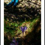 Non-Cueillette au pied des voies: Colchique – Colchicum autumnale