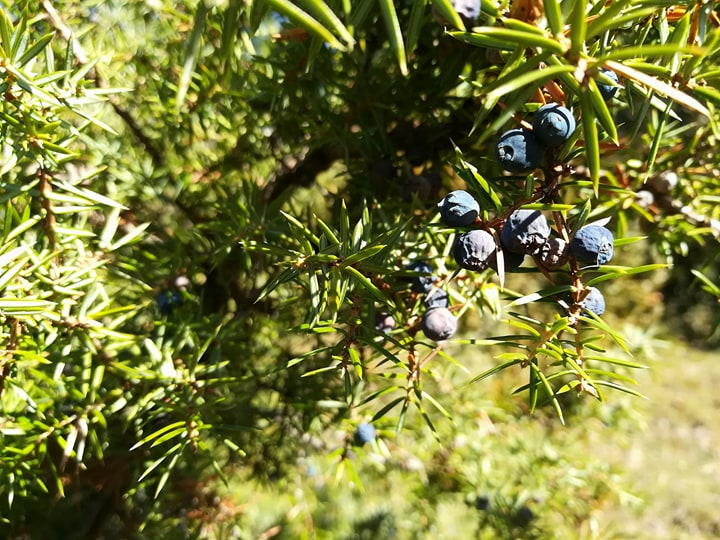 GC - cueillette au pied des voies - genévrier - juniperus communis 2