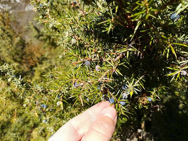 GC - cueillette au pied des voies - genévrier - juniperus communis