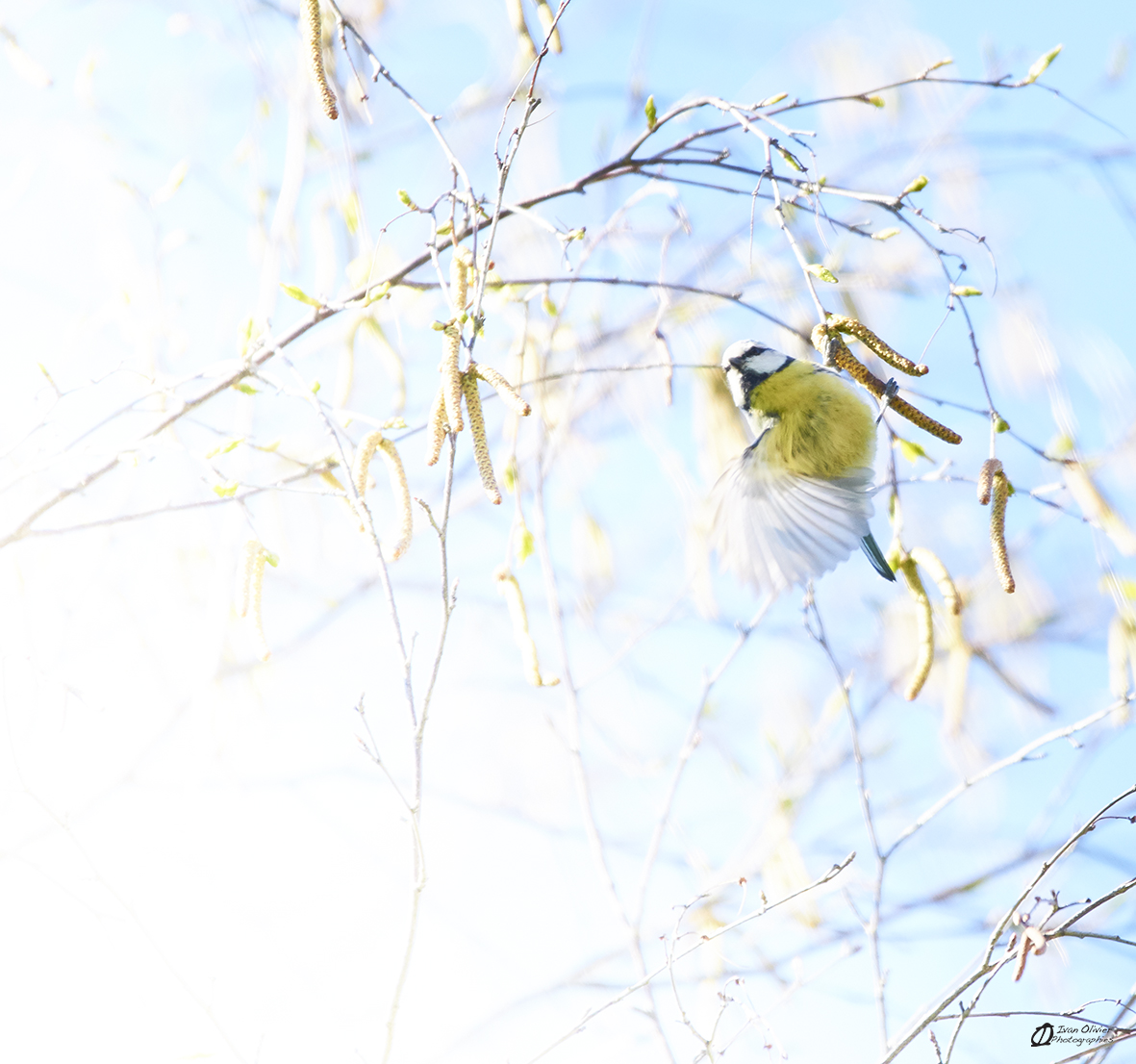 Mésange Bleue© Ivan Olivier Photographie (1)