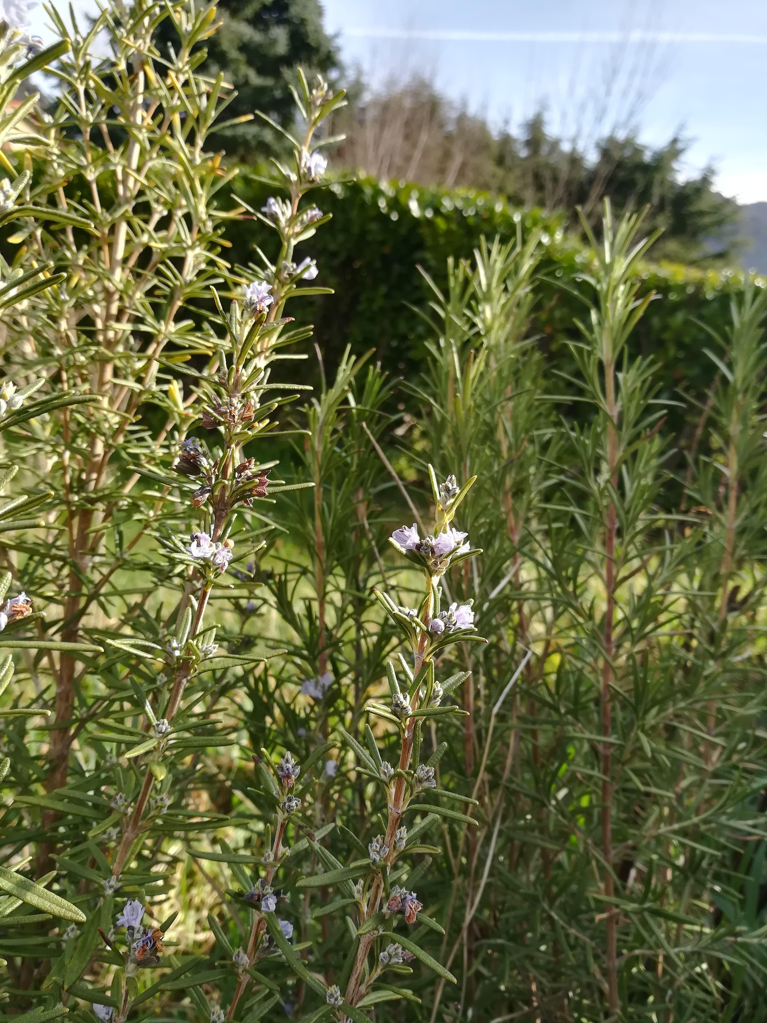 GC - fiche cueillette - plante médicinale - romarin (4)