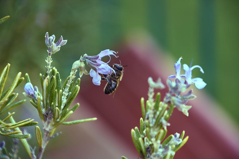 GC - fiche cueillette - romarin abeille - pixabay