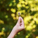 Fiche cueillette – Corylus avellana – Noisetier commun