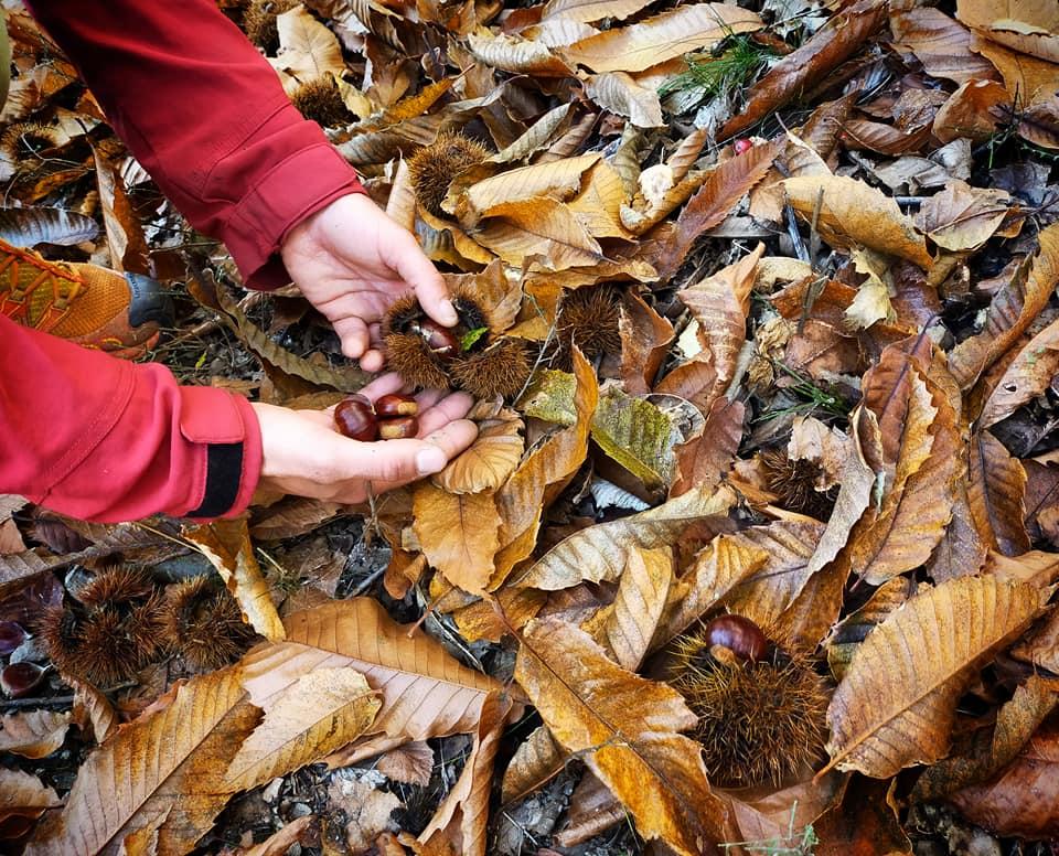 GC- Chataignier - castanea sativa - chataigne cueillette - cevennes lozere automne 2020
