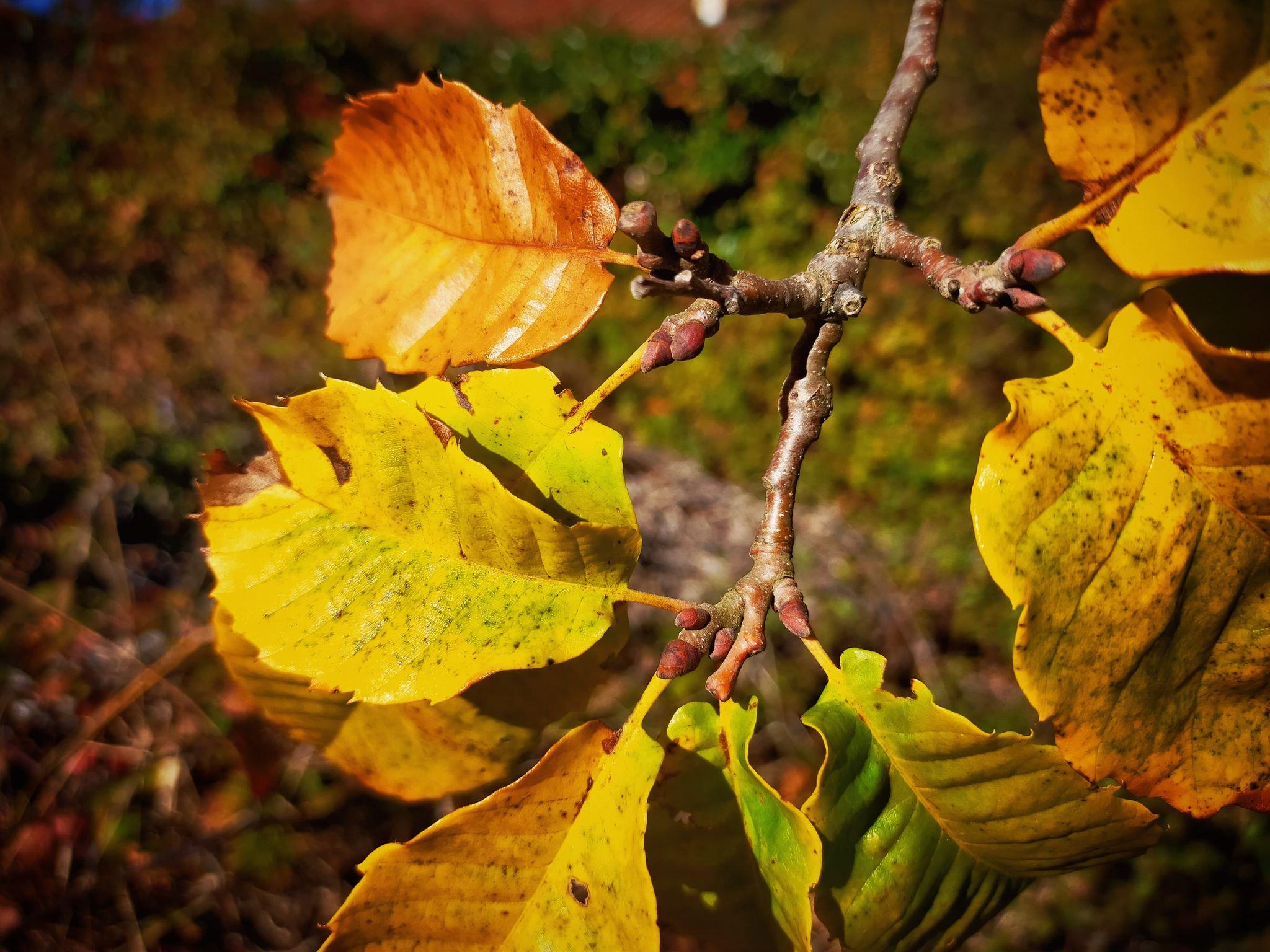 GC- Chataignier - castanea sativa - florac surba - automne 2020 - bourgeons