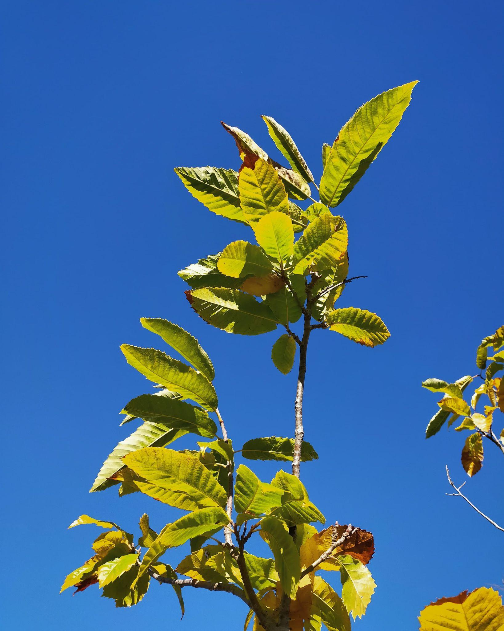 GC- Chataignier - castanea sativa - florac surba - automne 2020 - ciel bleu