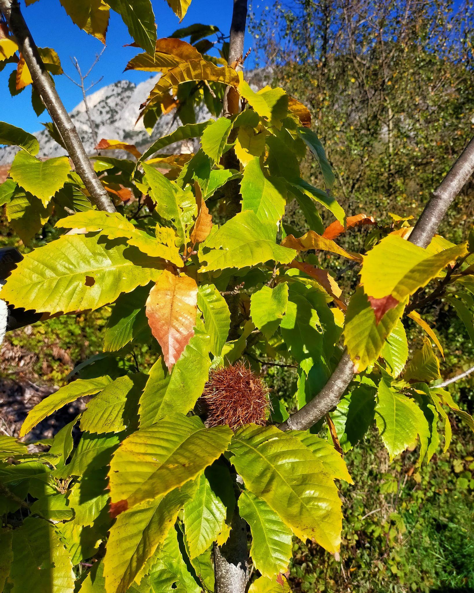 GC- Chataignier - castanea sativa - florac surba - automne 2020 - feuillage auomnal