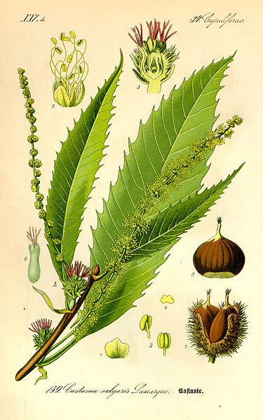 GC- Chataignier - castanea sativa - planche herbier