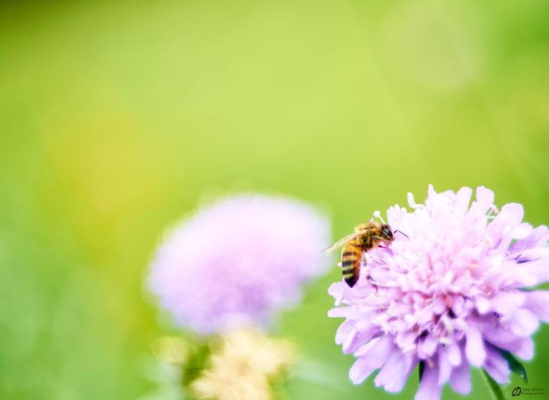 Abeille à miel sur scabieuse des champs - Surba 2021
