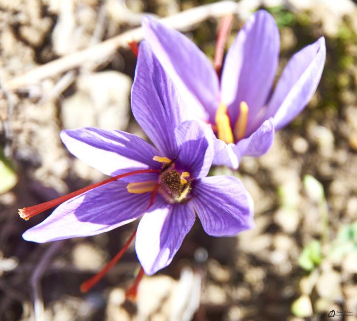 Bourdon couvert de pollen dans une fleur de Safran - Génat 2019